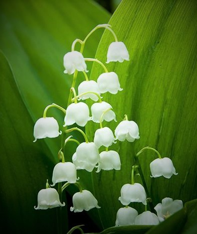 กลิ่น Lily of the valley