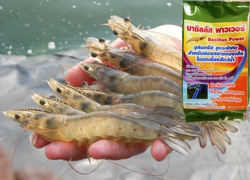 จุลินทรีย์บำบัดน้ำเสียและกลิ่น,หังเชื้อจุลินทรีย์บำบัดน้ำเสีย,จุลินทรีย์บำบัดน้ำเสียซื้อที่ไหน,จุลินทรีย์บำบัดน้ำเสียpantip,กระบวนการบำบัดน้ำเสียทางชีวภาพ,เลี้ยงกุ้ง,เลี้ยงปลา,บาซิลลัส พาวเวอร์