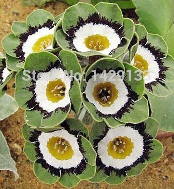 ดอก Primula Malacoides (Green) / 10 เมล็ด