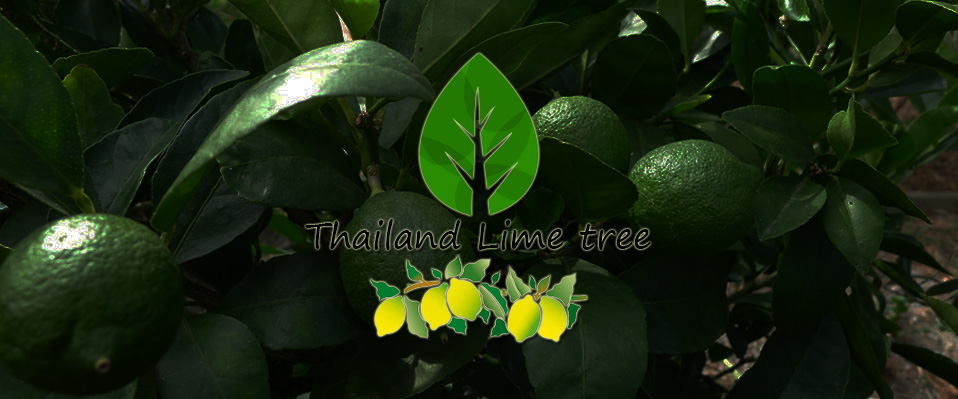 Thailand lime tree